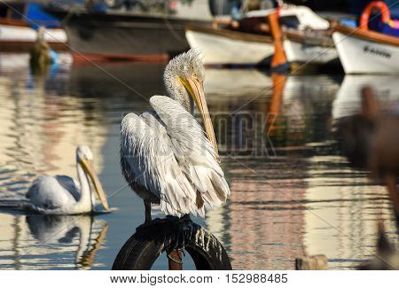 White pelican standing on whell  in harbour.