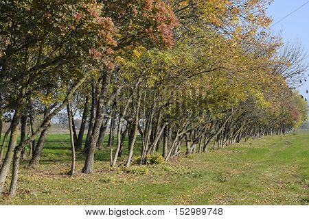 The Forest Along The Road In The Fall. Yellowing Leaves On The Branches