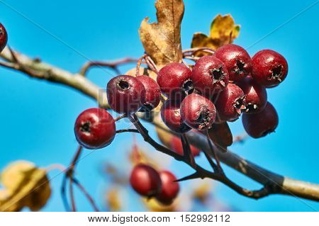 Red berries on a bush Swedish mountain ash in the autumn in Poland