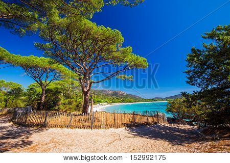 Pine Tree On Palombaggia Sandy Beach On The South Part Of Corsica, France, Europe.