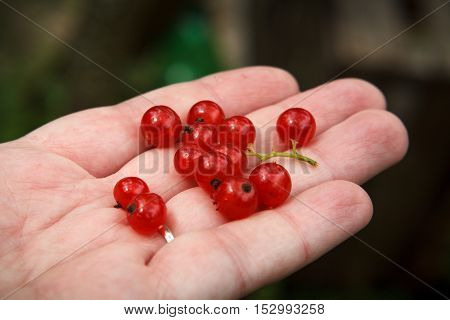 Red currants on a human palm. Close up.