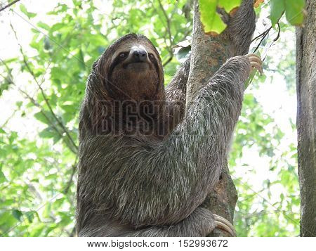 Adorable sloth climbing a tree in the rainforest in Costa Rica.