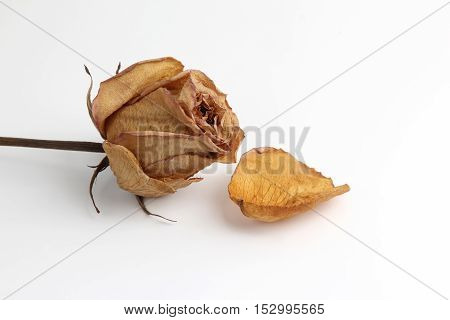 the dried rose petal on white background