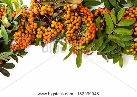 with bunches of rowan branch on white background
