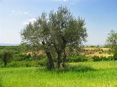 pic of olive trees  - olive tree in Italy - JPG