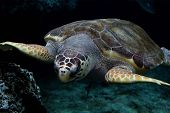 stock photo of sea-turtles  - Loggerhead sea turtle gliding through the water - JPG