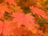 Autumn Maple Leaves Soft Macro poster