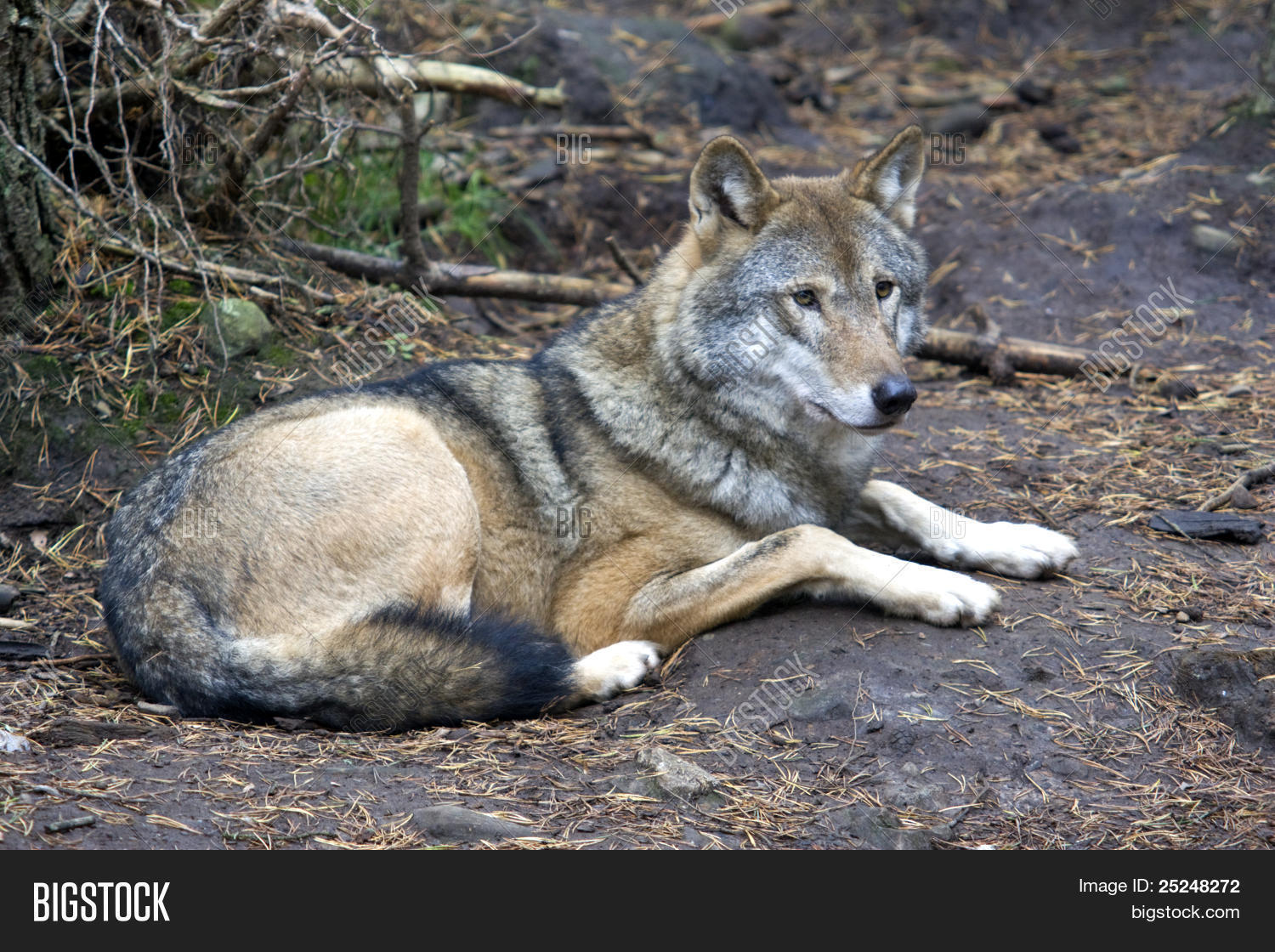 European Grey Wolf Sitting Down Image & Photo | Bigstock