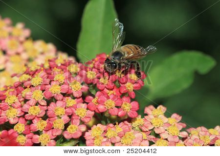 Bee on Tiny Red Flowers