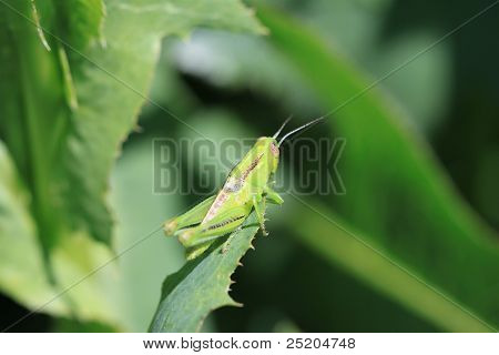 Bright Green Grasshopper