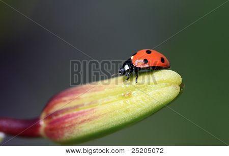 Ladybug on Lily Bud