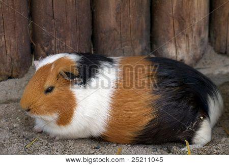 Guinea pig (lat. Cavia apera f. porcellus)