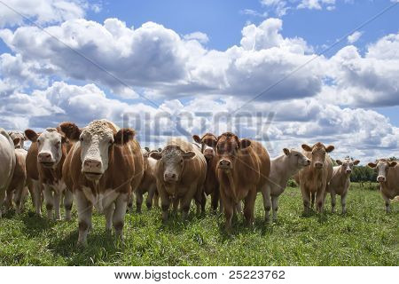 Cows Looking At You