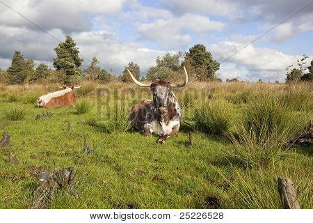 English Long Horn Cattle