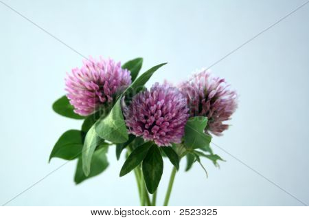 Bouquet Of Clover