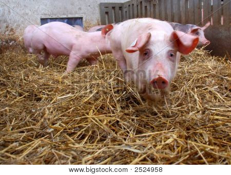 Pigs In An Stable