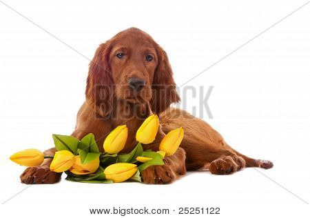 Puppy  With Yellow Tulips