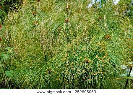 Cyperus Papyrus Plant Spotted In