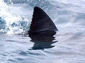 picture of great white shark  - Great white shark fin Gansbaai South Africa - JPG