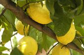 stock photo of gout  - lemons in a lemon tree in a farm in Spain - JPG