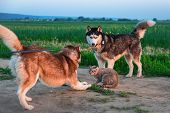 Dogs Caught Cat. Two Siberian Husky Dogs Caught Cat On Road. Cat Is Protected From Attack. Dogs Vs.  poster