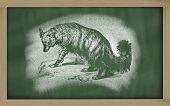 Sketch Of Aard Wolf On Blackboard (proteles Cristata)