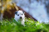 image of laika  - Portrait of yakutian laika puppy with forest on the background - JPG