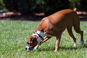 Purebred Boxer Sniffing in Grass poster
