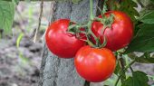 Fresh Ripe Red Tomatoes And Some Tomatoes That Are Not Ripe Yet Hanging On The Vine Of A Tomato Plan poster