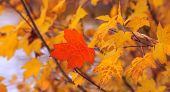 Red Maple Leaf Isolated On Background Of Others Yellow Leaves. Natural Canadian Symbol. Autumn Conce poster