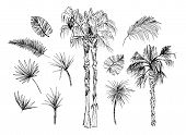 Set Of Isolated Sketched Coconut Or Queen Palm Trees With Leaves. Beach And Rainforest, Desert Coco  poster