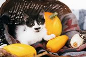 Happy Thanksgiving And Halloween. Cute Kitty Sitting In Wicker Basket With Pumpkin And Zucchini In L poster