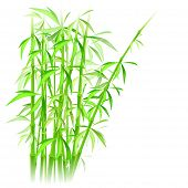 picture of bamboo forest  - bamboo vector illustration against white background with place for your text - JPG