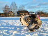 stock photo of turkey-cock  - Turkey-cock in a village winter evening sun and snow ** Note: Shallow depth of field - JPG