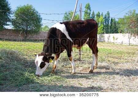 Black and white calf is feeding by grass