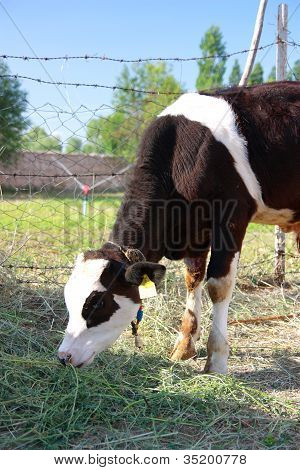 Black And White Calf Is Feeding By Grass - Vertical
