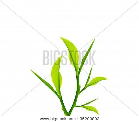 Green Leaves And Twig