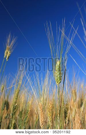 Single Wheat Over Field And Blue Sky