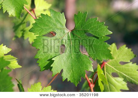 Grape Leaf In A Garden Close Up - Shallow Dof