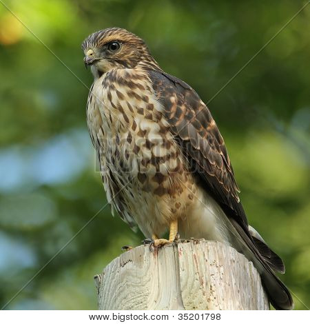 Immature Merlin Perched on a Utility Pole