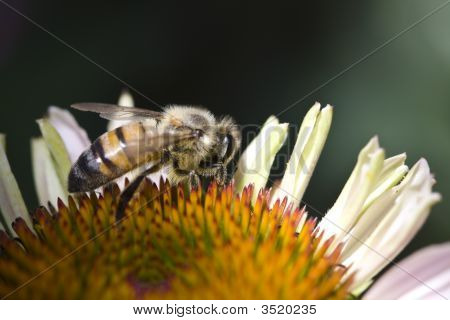 Bee Working Pollen