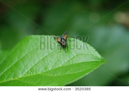 Golden Fly