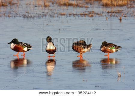 Male Northern Shovelers (anas Clypeata)