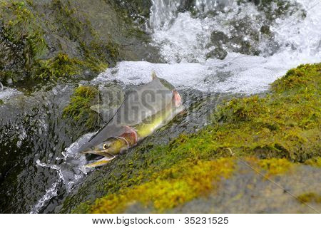 hunchback salmon (Oncorhynchus gorbuscha) 6