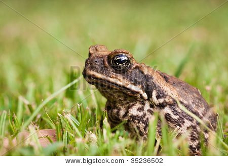 Close-up of marine or cane toad