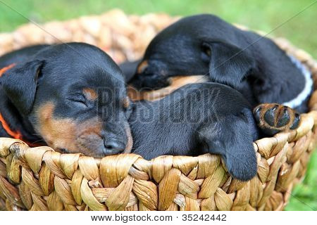 The Miniature Pinscher Puppies, 1 Months Old