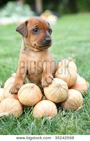 The Miniature Pinscher puppy 1,5 months old
