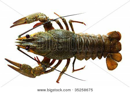 Crayfish On A White Background