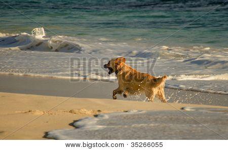 Golden retriever running on the beach Perth Australia