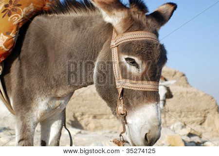 Donkey close-up at Saqqara pyramid, Egypt